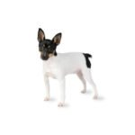 Petland Iowa City Toy Fox Terrier