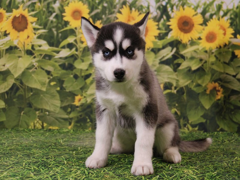 Siberian Husky-Female-Black / White-2535475-Petland Iowa City