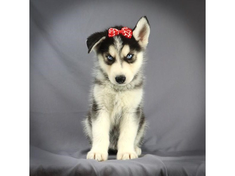 Siberian Husky-Female-Black & White-2705278-Petland Iowa City