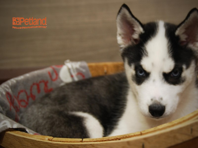 Siberian Husky-Female-Black / White-2698066-Petland Iowa City