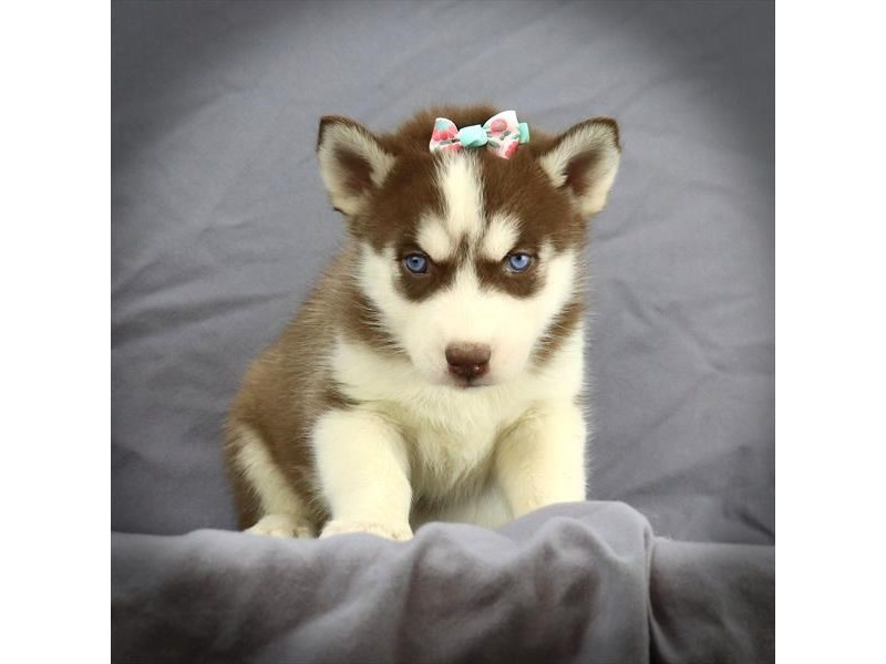 Siberian Husky-Female-Red / White-2759545-Petland Iowa City