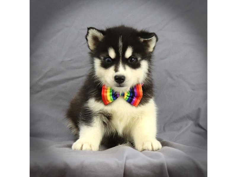 Siberian Husky-Male-Black / White-2759546-Petland Iowa City